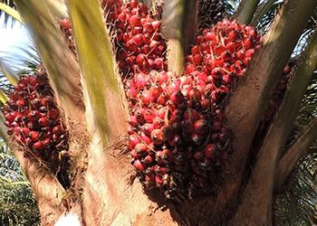 Ferrero es líder del WWF Palm Oil Scorecard 2016.
