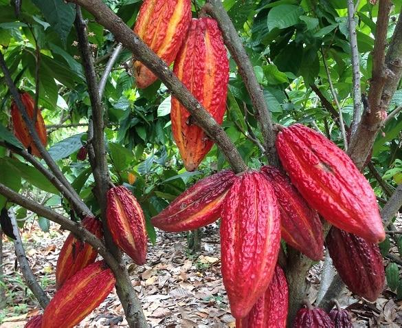 Ferrero's dedication to a deforestation-free Global Cocoa