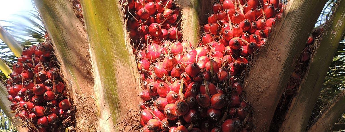 Ferrero es líder del WWF Palm Oil Scorecard 2016