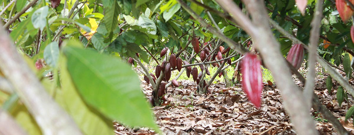Ferrero enters a Cooperative Initiative to End Deforestation  in the global cocoa supply chain