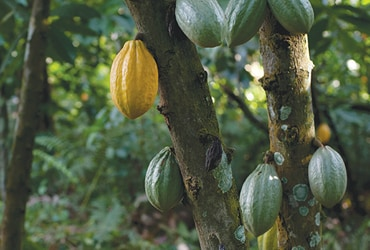 Ferrero pledges to end deforestation in cocoa production