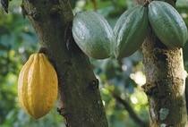 FERRERO долучилося до боротьби зі знелісненням районів вирощування какао