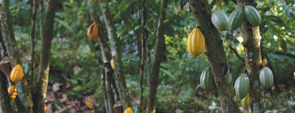 Op VN-klimaattop belooft Ferrero eind aan ontbossing in cacaoproductie