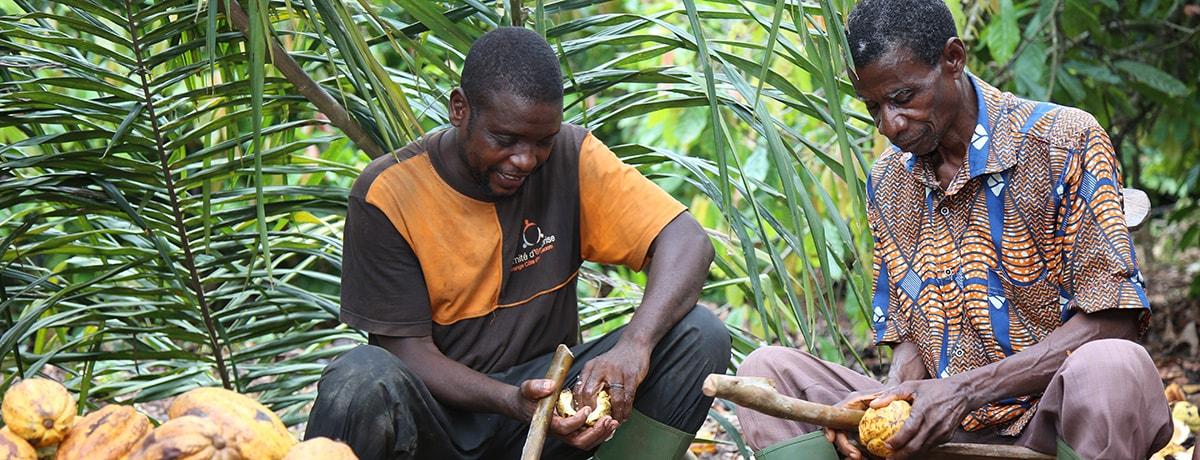 Progressi significativi nella lotta alla deforestazione nella coltivazione del cacao