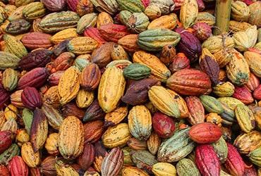 La qualità del cacao Ferrero