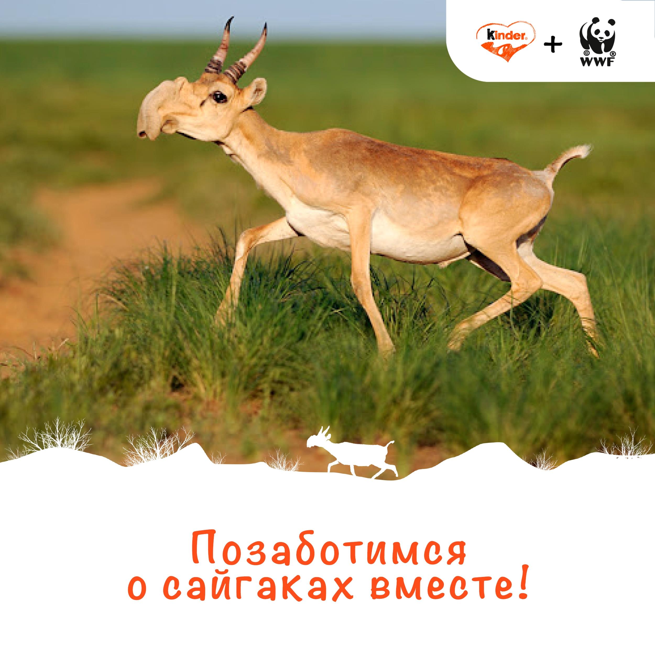 Kinder® и WWF России запустили проект «Позаботимся о сайгаках вместе!»