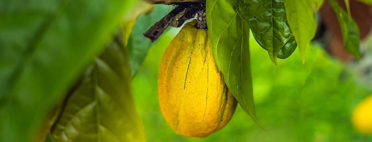 Ferrero maintains momentum in helping end deforestation in cocoa
