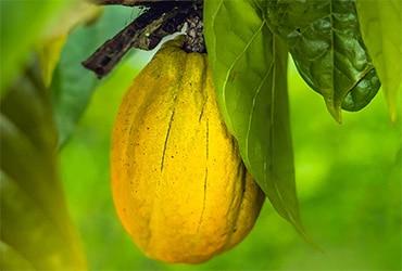 L'impegno Ferrero nella lotta alla deforestazione nella filiera del cacao